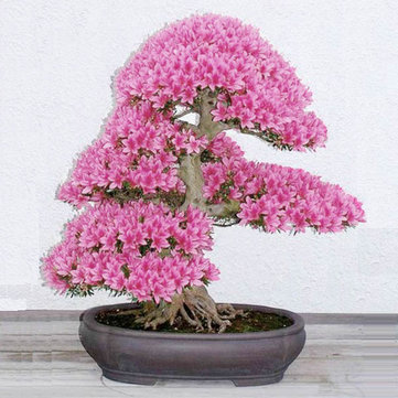 10pcs Garden Cherry Blossoms Bonsai Flower Seeds Courtyard Potted Plant