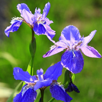 100pcs azulada violeta iris semillas de