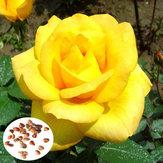 100pcs Yellow Rose Flower Seeds Garden Romantic Flower Plant