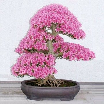 Egrow 10Pcs Rare Sakura Seeds Cherry