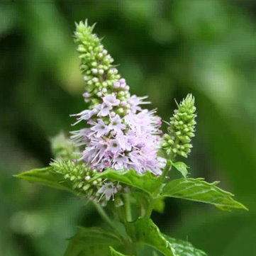 Image of 30PCS Mentha Spicata Spearmint Seeds Perennial Blume